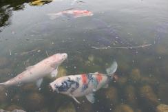 A+ fish at Tokugawa Museum garden