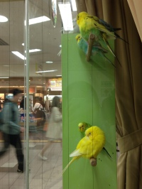 Parakeets at one of the big main Sapporo Stations!