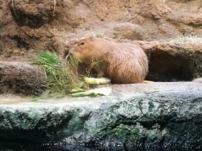 The popular capybara!