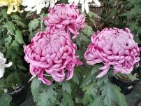 Chrysanthemum contest